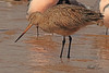 A Marbled Godwit taken April 22, 2011 near Fruita, CO.