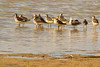 Red-necked Phalaropes taken July 21, 2011 near Soccorro, NM.