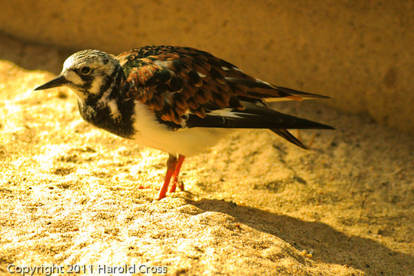 A Ruddy Turnstone taken Sep. 28, 2011 in Monterey, CA.