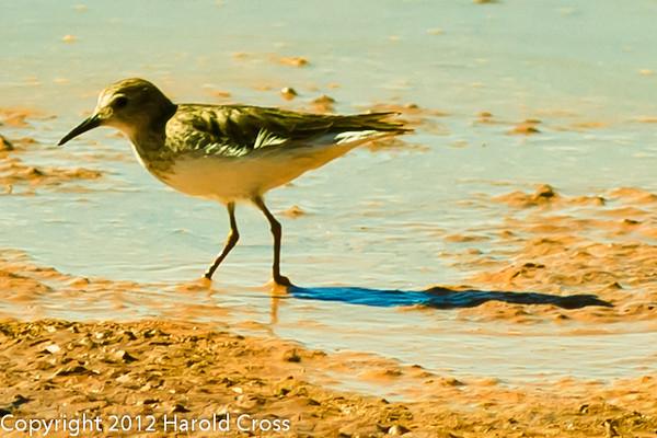 A Semipalmated Sandpiper taken Feb. 23, 2012 near Elfreida, AZ.