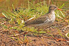 A Spotted Sandpiper taken May 13, 2011 near Denver, CO.