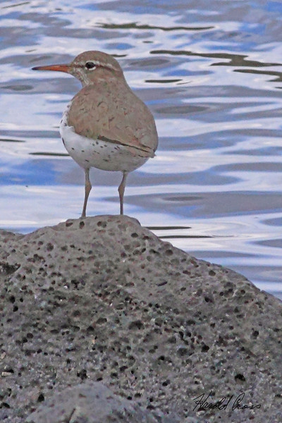 A Spotted Sandpiper taken May 31, 2010 near Lake Henry, ID.