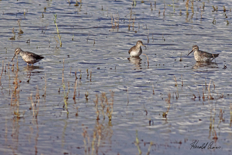 Stilt Sandpipers with a Solitary Sandpiper taken July 24, 2010 near Portales, NM.