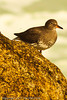 A Surfbird taken Sep. 29, 2011 near Monterey, CA.