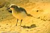 A Western Sandpiper taken Sep. 28, 2011 in Monterey, CA.