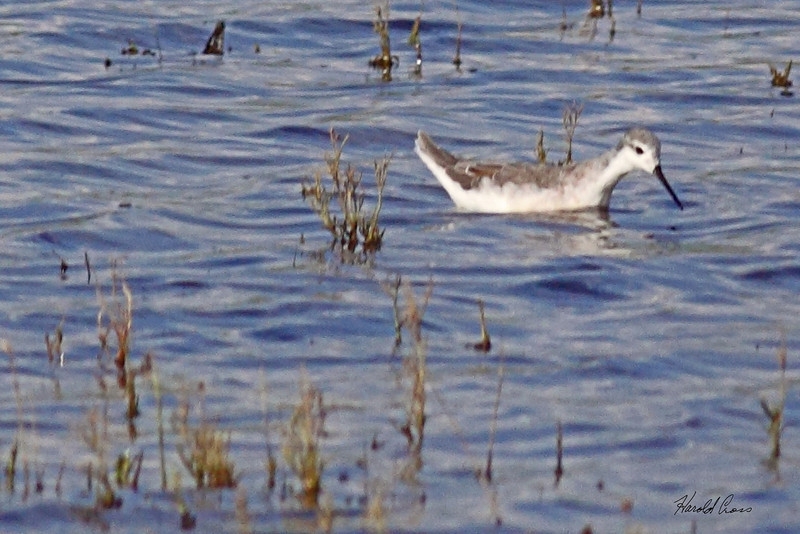 A Wilson's Phalarope taken July 24, 2010 near Portales, NM.