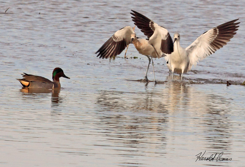 American Avocets with a Green-winged Teal taken Feb 5, 2010 in Gilbert, AZ.