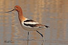 An American Avocet taken April 15, 2011 near Fruita, CO.