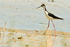 A Black-necked Stilt taken July 18, 2011 near Roswell, NM.