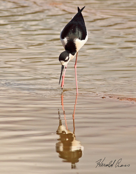 A Black-necked Stilt taken Feb 6, 2010 in Gilbert, AZ.