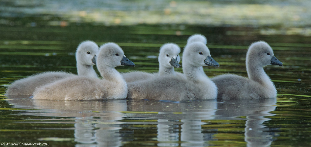 Cygnets in the shadow