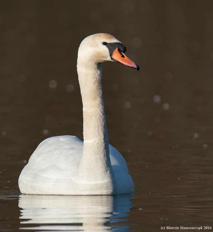 Swan from the right
