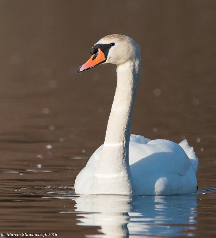 A mute swan