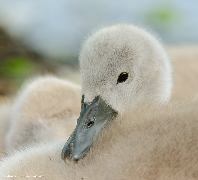 Closeup of a cygnet