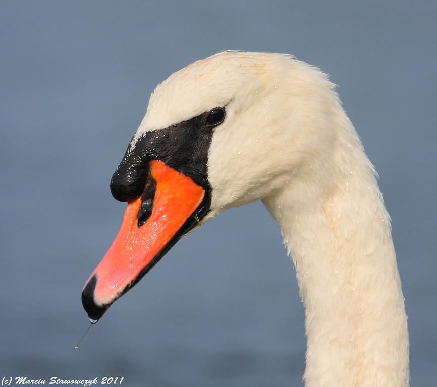 Portrait of a mute swan