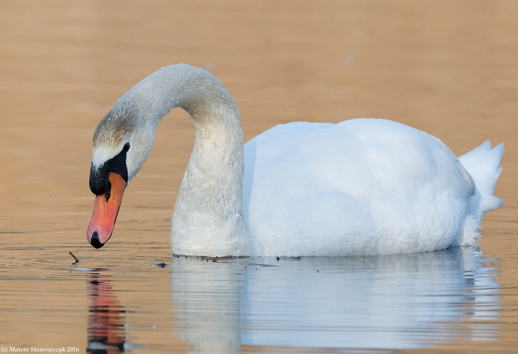 Pastel swan