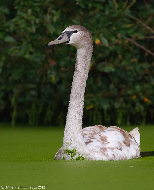 Young swan approaching