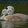 Cygnets in green