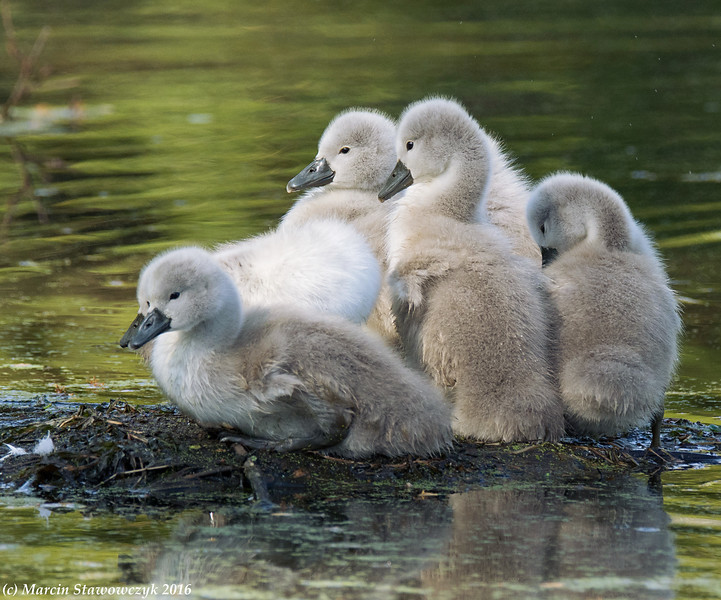 Cygnets at rest