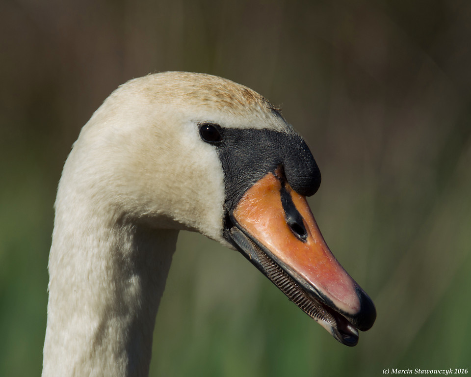 Head of the swan