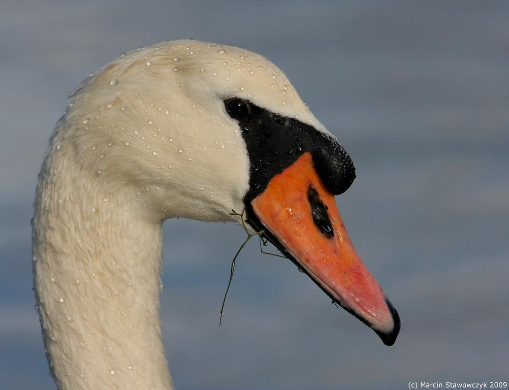 Swan's portrait