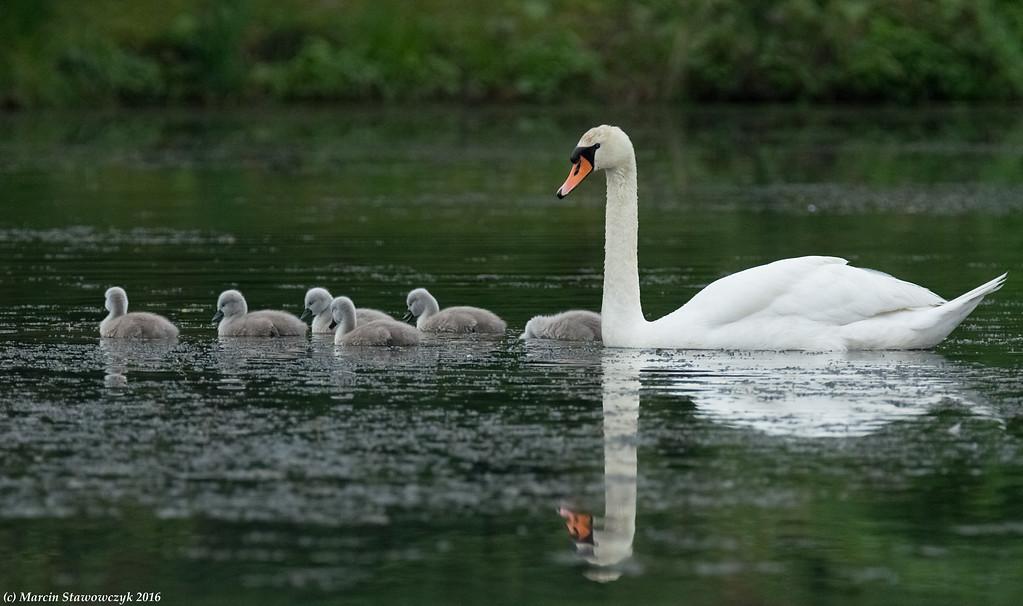 Swan plus cygnets