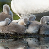 Little swans