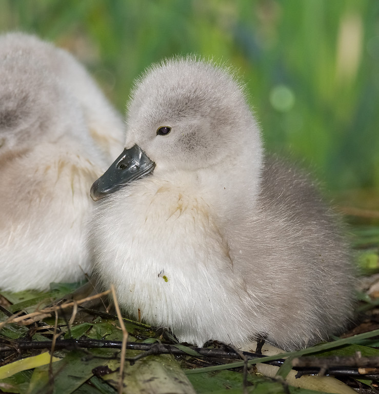 A little swan