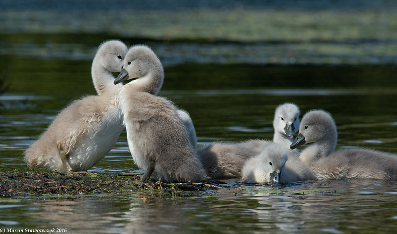 Group of cygnets