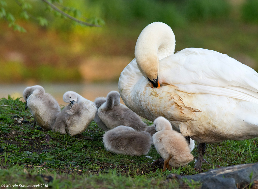 Swan with family
