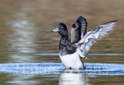 Waterfowl, Tufted Ducks