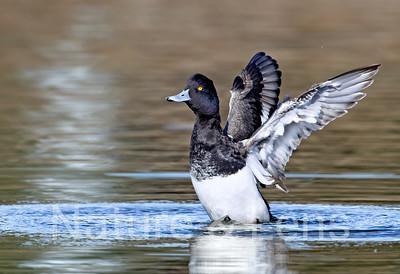 Waterfowl, Tufted Ducks