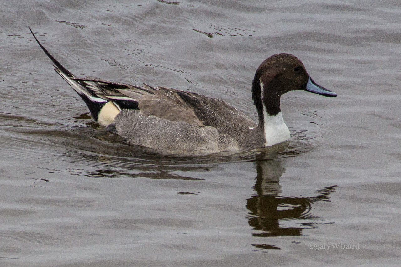 Pintail in Rain