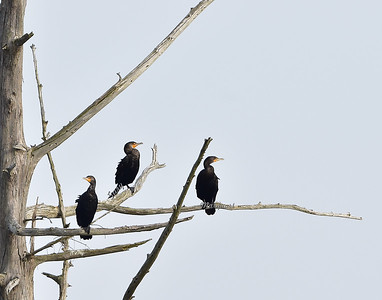 Double-crested Cormorants 7646
