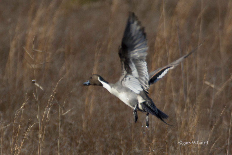 Pintail Take-off