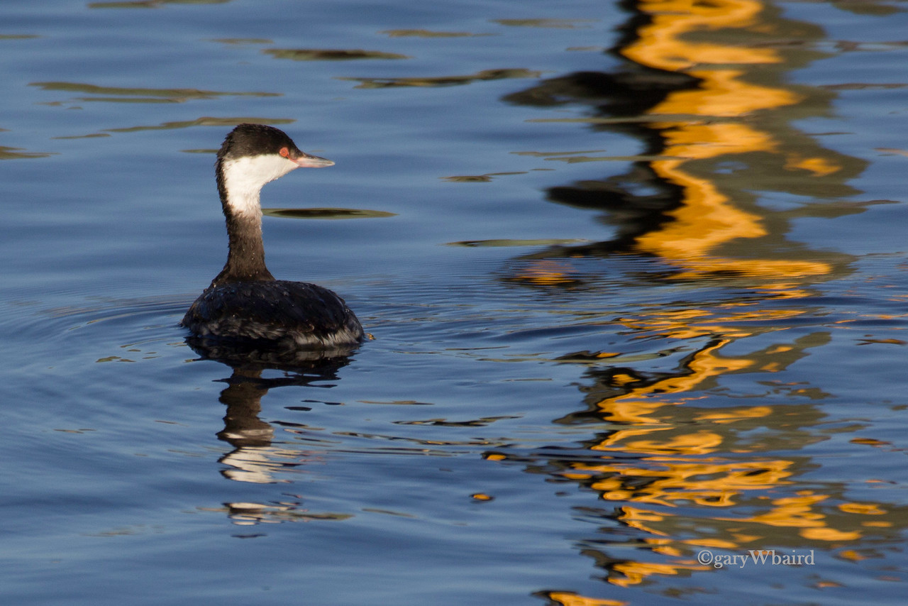 Horned Grebe Reflections