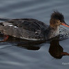 Female Red Breasted Merganser