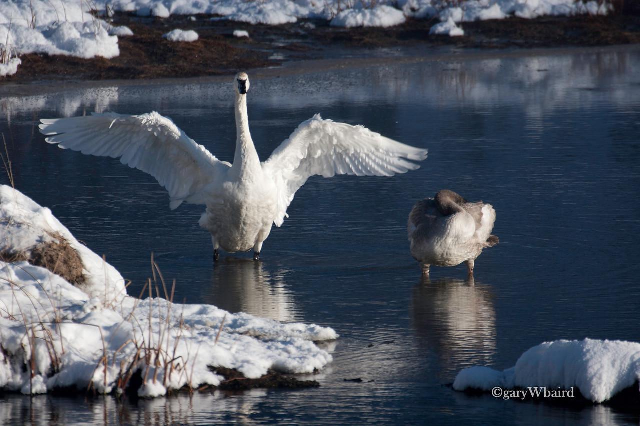 Tundra Swan Stretch