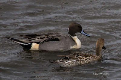 Pintail Couple in Rain
