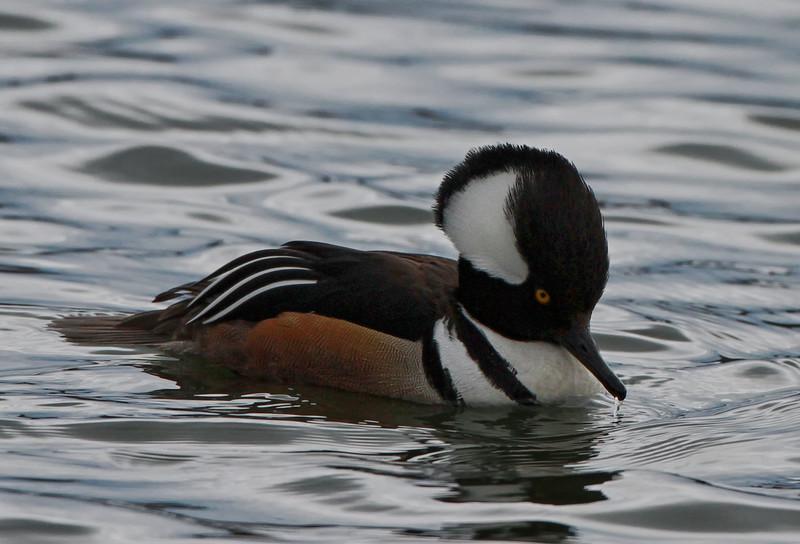 Male hooded merganser one of my favorite of ducks..