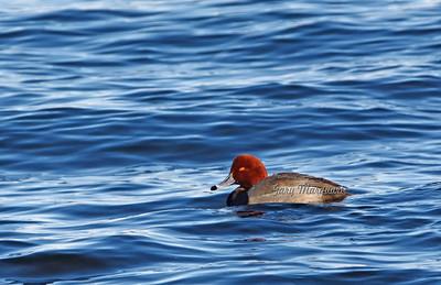 Redhead 5533