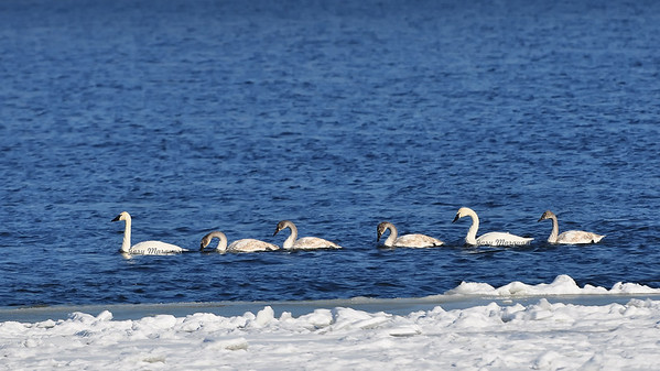 Trumpeter Swan Family 0833