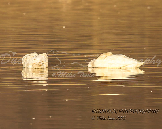 IMAGE: http://duckdogphotography.smugmug.com/Waterfowl/i-fFThskv/1/M/IMG_6794%20sleeping%20swan-M.jpg