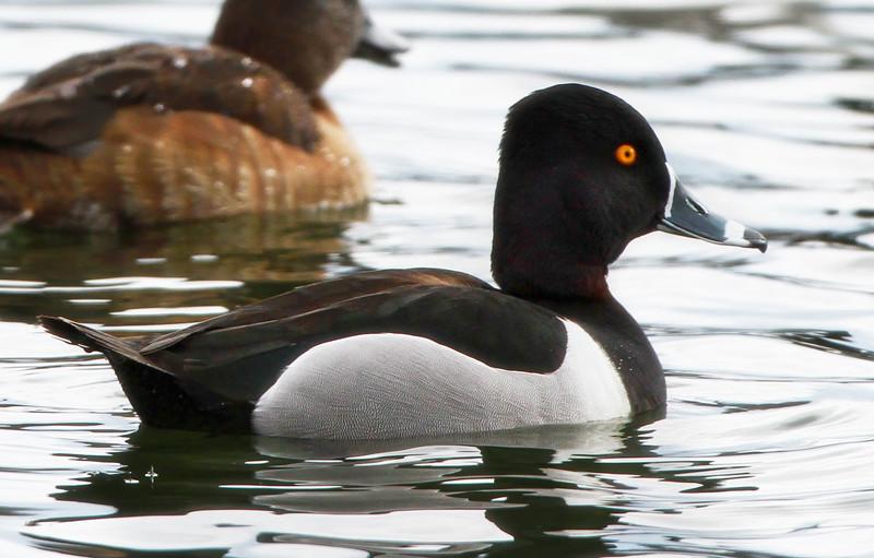 Ring- bill duck