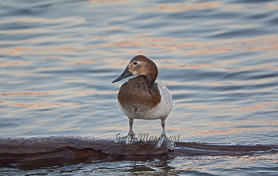 Canvasback 1249  ( Female )