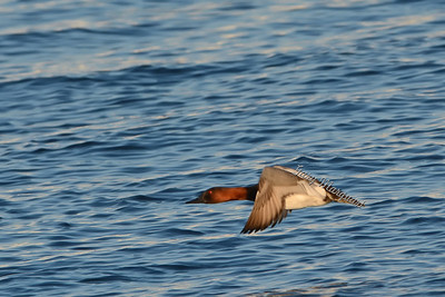 Canvasback 1129