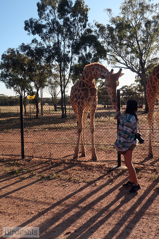 taronga-western-plains-zoo feeding giraffes