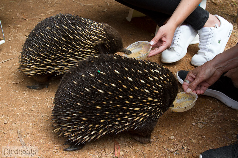 echidnas eating at healesville