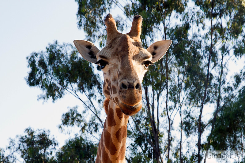 taronga-western-plains-zoo giraffe