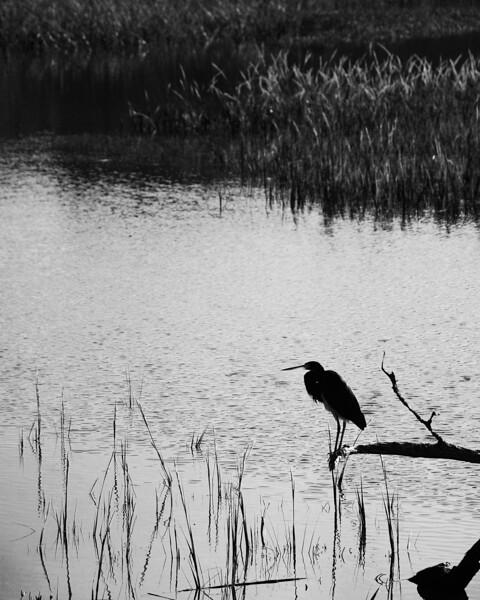 Grassland Heron